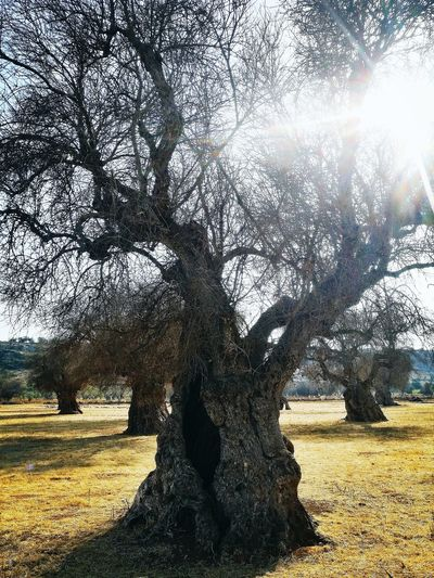 Ulivi Campagna No People Nature Tree Ulivo