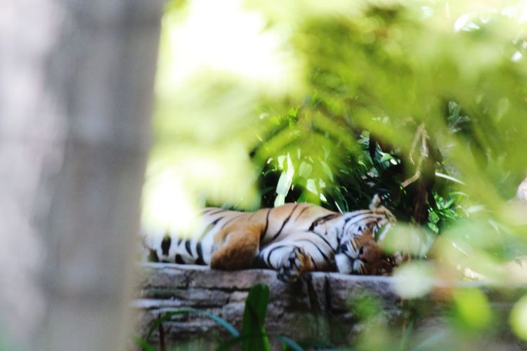 In the Jungle The Traveler - 2018 EyeEm Awards Tree Relaxation Tiger Lying Down Sleeping Grass