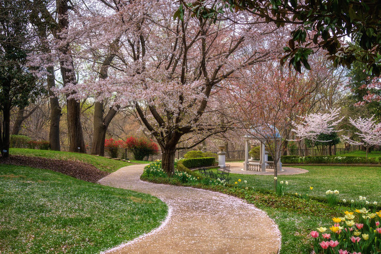 Colors of spring, garden Washington D.C Spring Springtime Spring Flowers Cherry Blossom Cherry Blossoms Park Garden Daytime Colorful Walking Path No People Tulips Grass Blossoming  Flower Tree Cherry Tree Flora Magnolia Pink Rosé Garden Path In Bloom Blooming