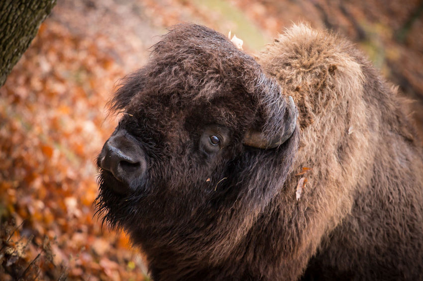 Animal Themes Animal Wildlife Animals In The Wild Autumn Bison Candid Close-up Day Deer Domestic Animals Focus On Foreground Livestock Mammal Nature Nature Nature Photography No People One Animal Outdoors