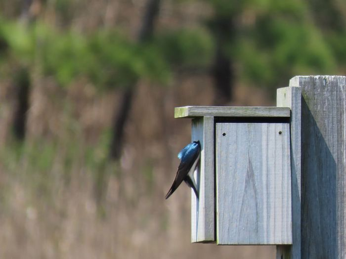Peek-a-boo! EyeEm selects tree swallow at man made wooden birdhouse focus on the foreground beauty in nature outdoors animal themes birdwatching EyeEm Selects Wood - Material Nature No People