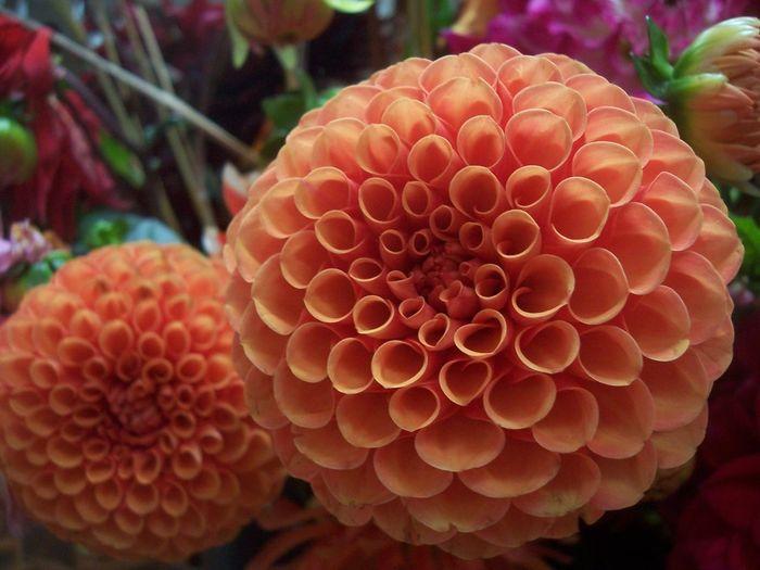 flower Orange Orange Color Orange Flower Flower Flower Head Flowers Dahlia Dahlia Flowers Dahlia Explosion