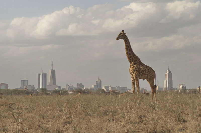 Giraffe with Nairobi Skyline Giraffe Nairobi Africa Animal Themes City Cityscape Mammal Nairobi National Park Nairobi Skyline Nature Safari Safari Adventure Skyscraper
