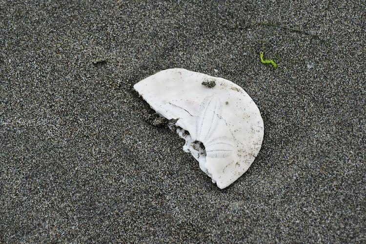 Broken sand dollar along the black sand in North Cali. Beach Close-up Trinidad State Beach
