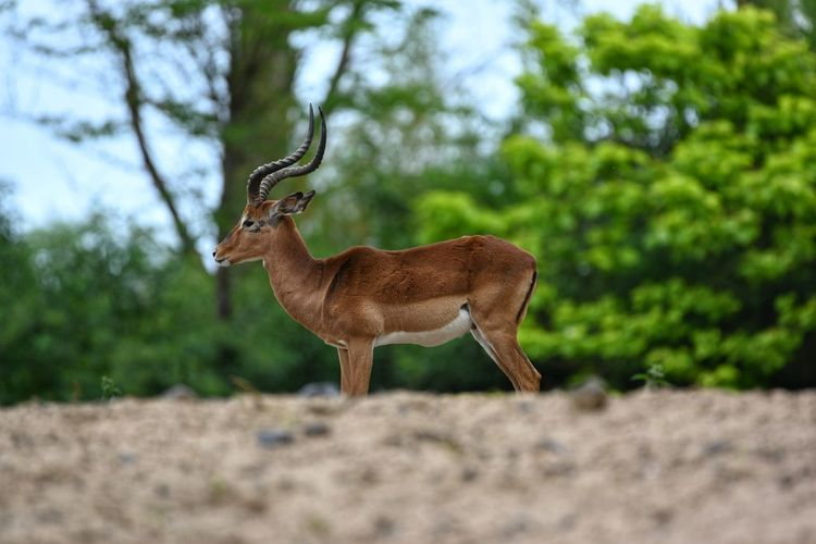 Side view of deer standing on land
