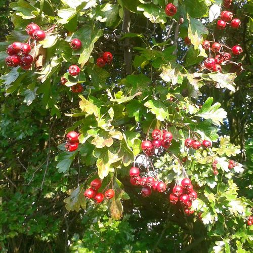 Nature Hawthorn Redberries NaturalBeauty Red And Green Sunshine Mothernature Autumn Thorns Hedgerow