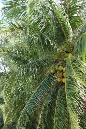 coco Coconut