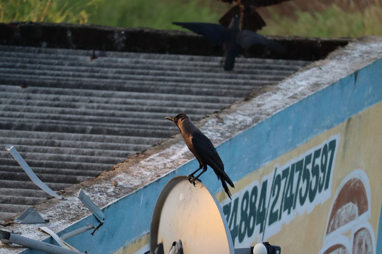 Side view of pigeon perching on metal