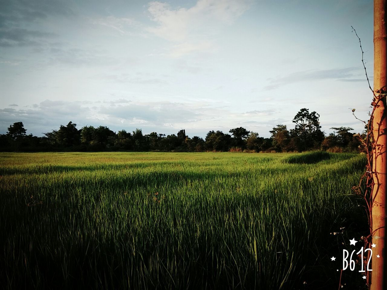 agriculture, field, growth, crop, farm, landscape, tree, nature, rural scene, tranquil scene, rice paddy, scenics, tranquility, green color, beauty in nature, rice - cereal plant, cereal plant, no people, plant, sky, outdoors, grass, day, wheat, food