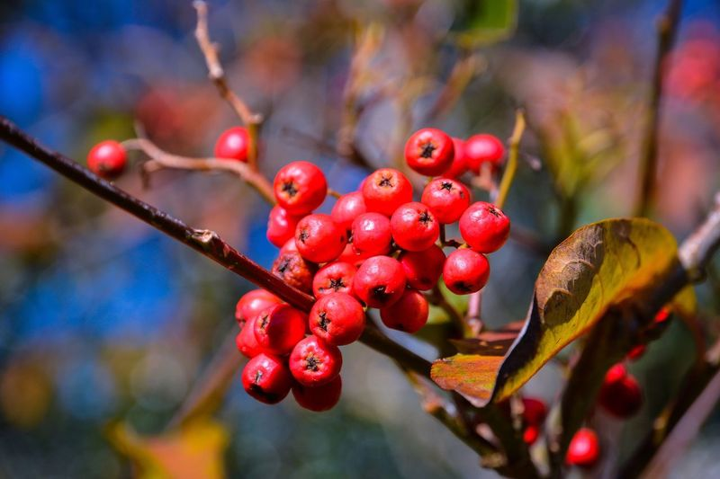 Red Berries ... Berries EyeEm Selects Fruit Berry Fruit Healthy Eating Food Food And Drink Red Focus On Foreground Close-up Freshness Day Growth No People Rowanberry Plant Tree Nature Branch Plant Part Wellbeing Leaf