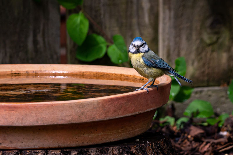 Eurasian blue tit, cyanistes caeruleus, perched by the side of a bird bath looking at the camera