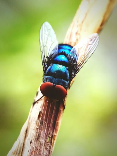 Lalat ijo Insect Animal Wildlife Animals In The Wild Close-up Animal Themes