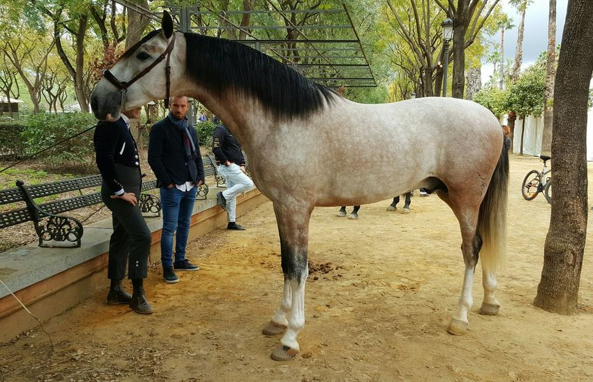 Caballo Pura Raza Español Horse Animal Themes One Animal Herbivorous Tree Day Doma Clásica Man And Horse Outdoors Outdoor Photography Adapted To The City EyeEmNewHere The City Light