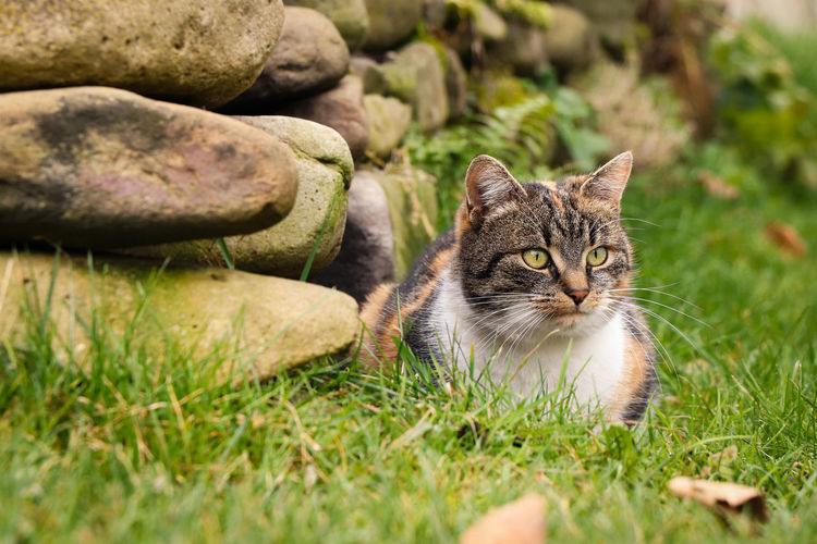 Portrait of cat relaxing on grass