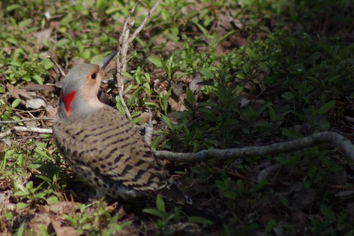 Birdwatching Ornithology  Bird Photography Beautiful Nature God's Beauty Woodpecker Northern Flicker Colaptes Auratus