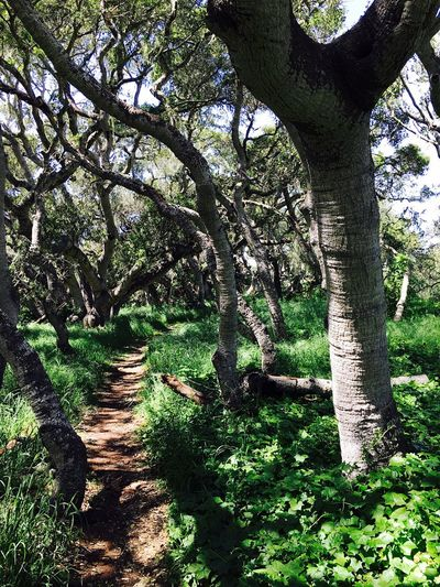 Los Osos, Ca Los Osos California Trees Trail Follow The Path Green Pygmy Oak Trees National Park Park Picture Perfect Nature