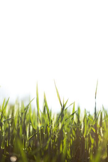Crop in field against clear sky
