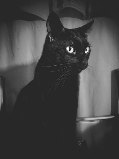 Like a panther Pets Domestic Animals One Animal Domestic Cat Animal Themes Indoors  Feline Cat Sitting Close-up Animal Eye Portrait Blackandwhite Black & White Blackandwhite Photography Black Cat Black Cats Black Cat Photography Gato Gato Negro Mammal No People Mascota Halloween Bad Luck