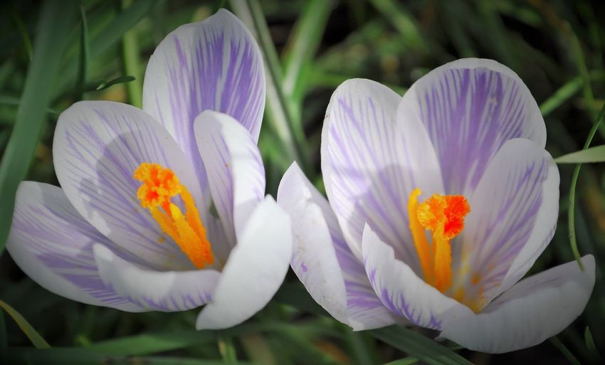 Close-up of crocus flowers blooming outdoors