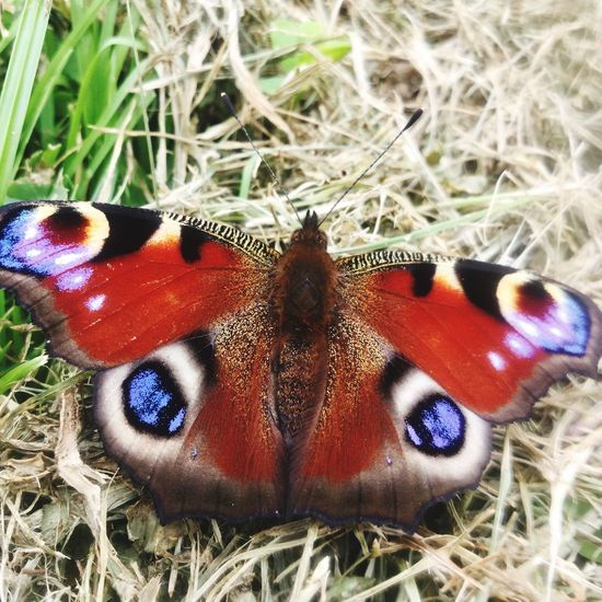 Insect Animal Themes One Animal Animals In The Wild Animal Wildlife Close-up Butterfly - Insect Wildlife Grass Day No People Nature Outdoors Beauty In Nature Beautiful EyeEmNewHere