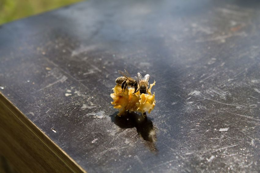 Biene Honigbiene Bee Abeja Animales Animals Tiere