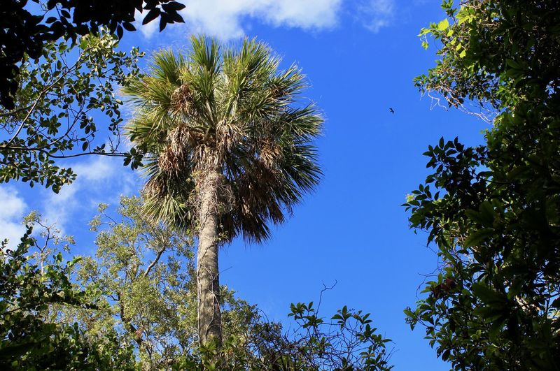 Beauty In Nature Blue Cloud - Sky Day Florida Sky Growth Low Angle View Nature No People Outdoors Palm Trees Sky Tree