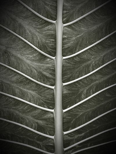 Black & White IPhoneography Leaf Vein Singapore Nature Flaura And Fauna