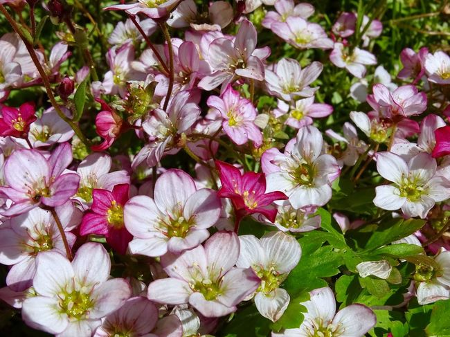 Saxifraga flowers Saxifraga Flower Flowering Plant Plant Freshness Fragility Beauty In Nature Vulnerability  Growth Petal Close-up No People Flower Head Full Frame Nature Day Inflorescence White Color Pink Color Backgrounds High Angle View