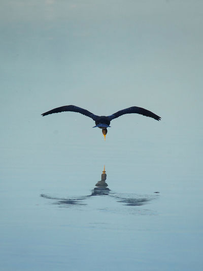 Seagull flying in a water