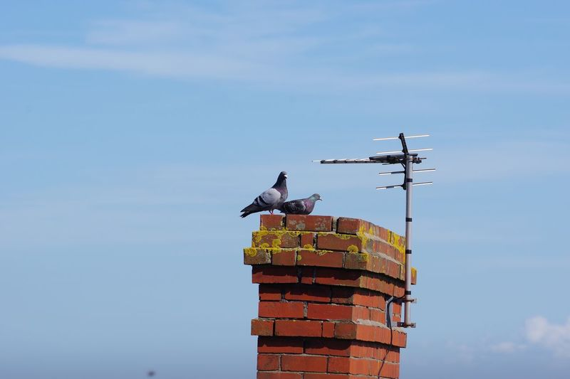 Low angle view of pigeons perching on brick chimney against sky