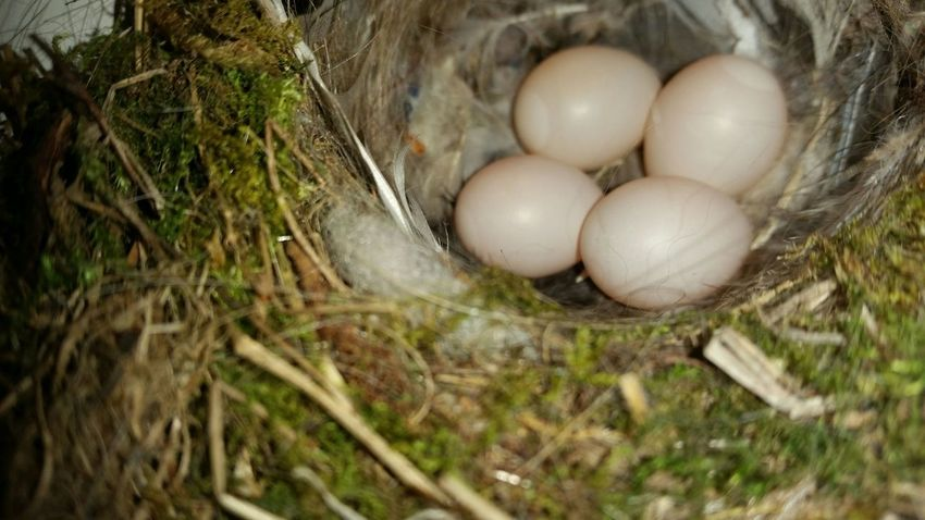 PLEASE check my other uploads. You might also like them. THANKS 4 passing by! Egg Ei Close-up Nahaufnahme No People Menschenleer No Edit/no Filter Ohne Bearbeitung Nature Natur Vogelnest Birdnest Nest Outdoors Draußen Fragility Zerbrechlich Home Rotschwänzchen Redstart Germany The Architect - 2017 EyeEm Awards Live For The Story Animal Themes Animals In The Wild