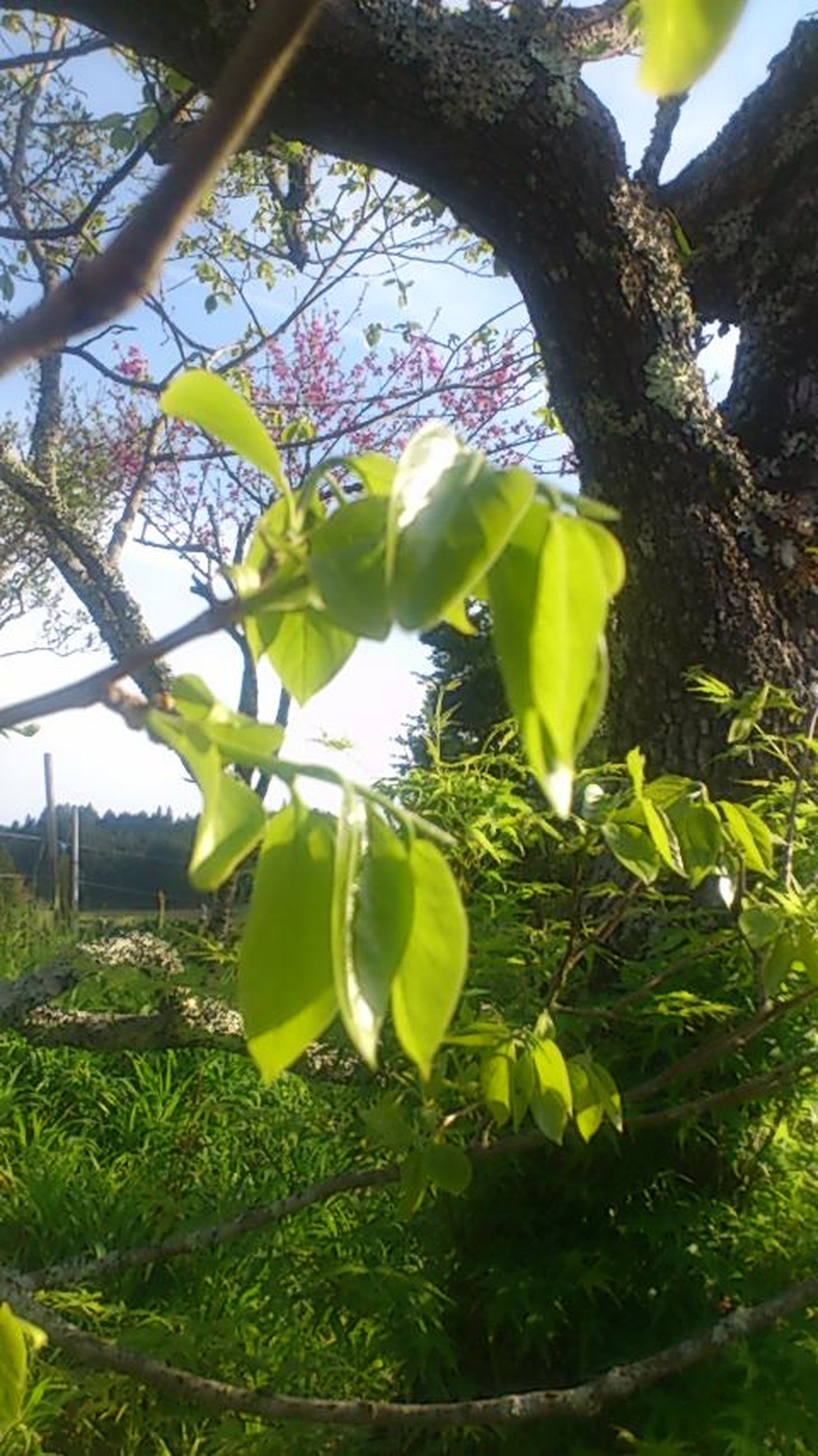 growth, tree, green color, leaf, branch, freshness, nature, plant, beauty in nature, fruit, growing, close-up, low angle view, sunlight, flower, day, tree trunk, green, sky, yellow