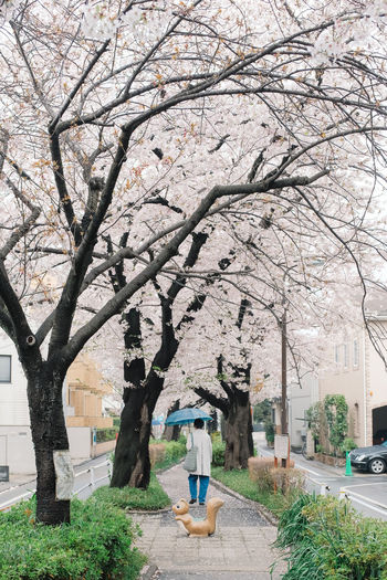 View of cherry blossom