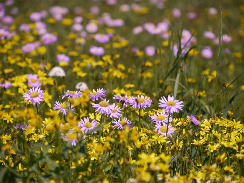 Flowers in Glacier National Park, Montana, United States. Flowering Plant Flower Freshness Plant Fragility Vulnerability  Beauty In Nature Growth Yellow Close-up Selective Focus Petal Land Field No People Flower Head Inflorescence Nature Day Outdoors Springtime Purple Flowerbed