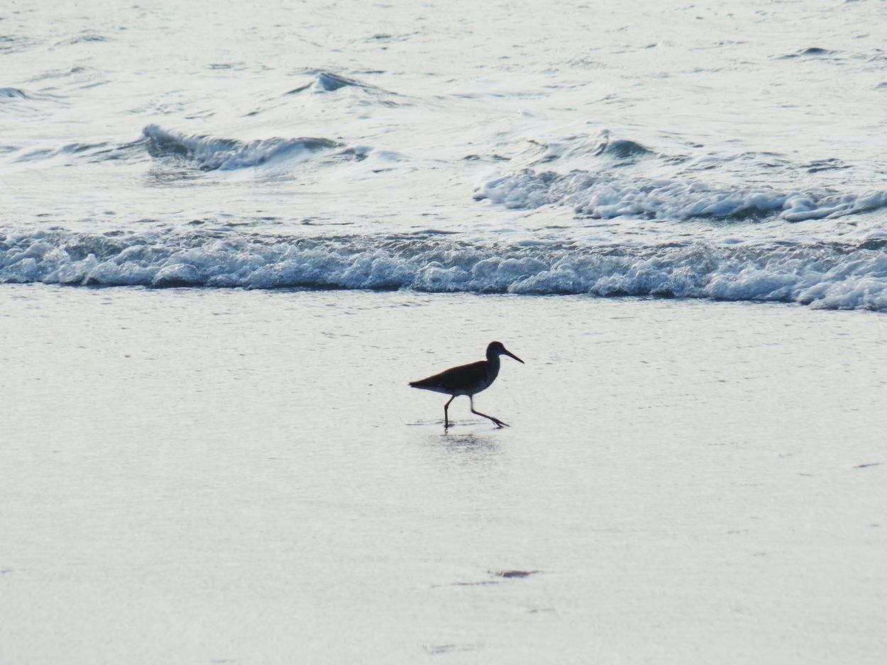 Bird Animals In The Wild One Animal Animal Wildlife Animal Themes Day Outdoors Nature Sand Water No People Northcarolina Beauty In Nature Shore North Carolina NorthCarolinaShores Wrightsville Beach Tranquil Scene Beach Nature Animals In The Wild Sea Wave