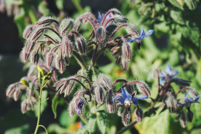 borage plant Nature Flower Plant Outdoors Beauty In Nature Green Color Day No People Close-up Leaf Botanical Garden Fragility Freshness Flower Head Medical Plant Agurkurt Borago Borage Leaves Flower Collection Summer Plant Green Color Beauty In Nature Leafs