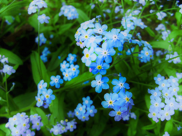 Beauty In Nature Blooming Blue Close-up Day EyeEm Nature Lover Flower Flower Head Forget Me Not Forget-me-not Fragility Freshness Green Color Growth Nature No People Outdoors Petal Plant