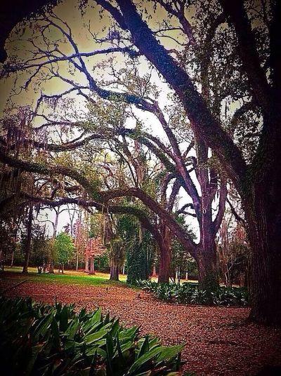 Louisiana St Francisville Traveling Trees