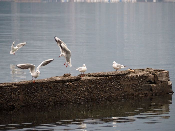 Animal Themes Animal Wildlife Animals In The Wild Beach Bird Day Nature No People Outdoors Perching Playful Sea Sea Bird Seagull Seagulls Spread Wings Water