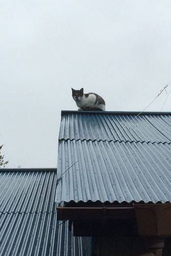 屋根仔 野良猫 Stray Cat