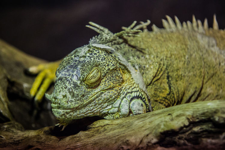 Close-up of iguana with eyes closed on tree trunk