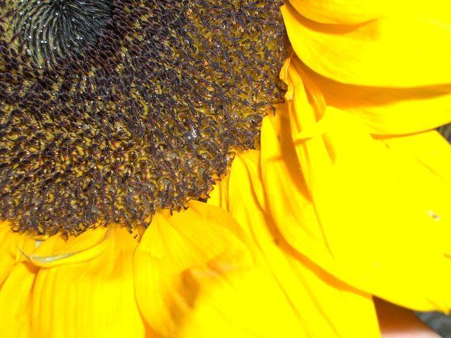 Abundance Bright Flower Flower Head Full Frame Saturated Saturated Color Saturated Colours Summer Sunflower Yellow