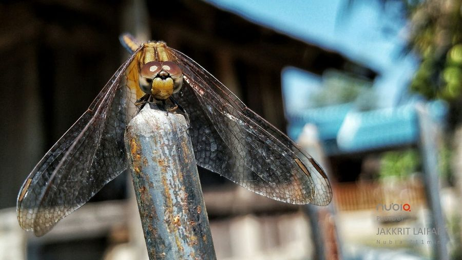 dragonfly Animal Animal Themes Dragonfly Insect No People Animal Wildlife Close-up Day One Animal Outdoors