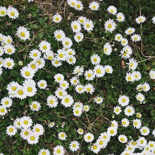 Daisy Nature Hungary Mik Ikozosseg