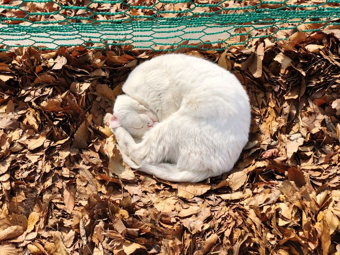 Circle White Cats Cat One Animal Animal Themes Pets Animal Mammal Domestic Animals Leaf Autumn Nature No People Day Outdoors Close-up