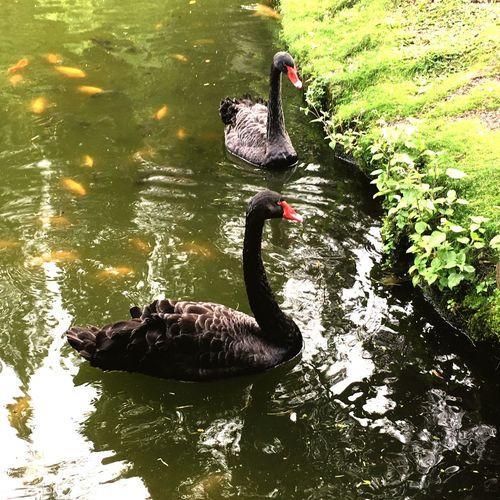 Black Swans Koi