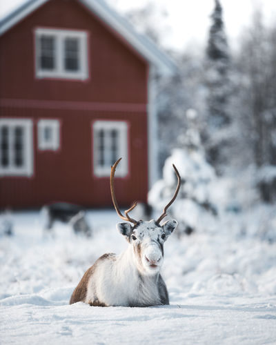 Portrait of reindeer on snow covered land