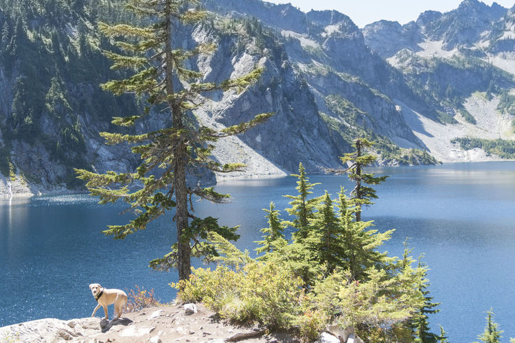 Evergreen alpine forest with yellow labrador retriever dog eager to jump in lake afternoon sun.