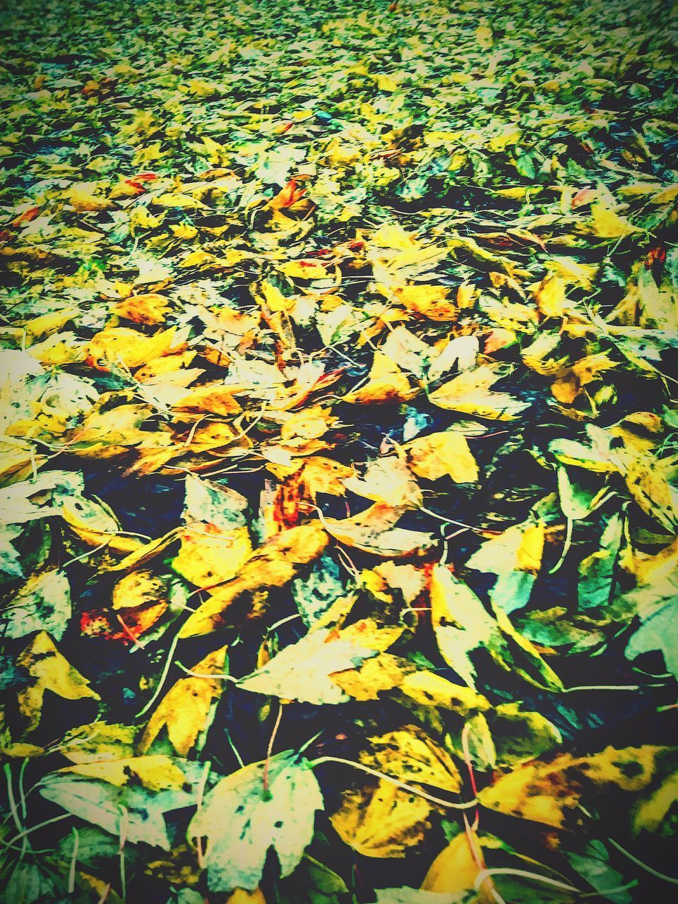 HIGH ANGLE VIEW OF YELLOW MAPLE LEAVES ON LAND