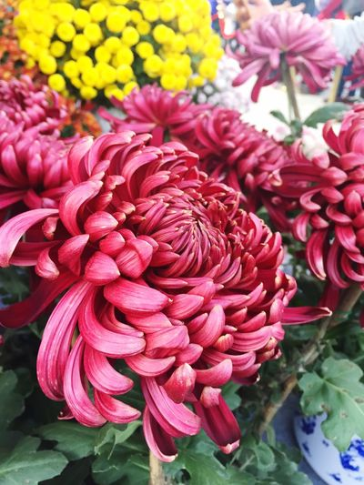 Flower Beauty In Nature Fragility Nature Freshness Petal Flower Head Close-up Day Plant Blooming No People Chrysanthemum Dahlia